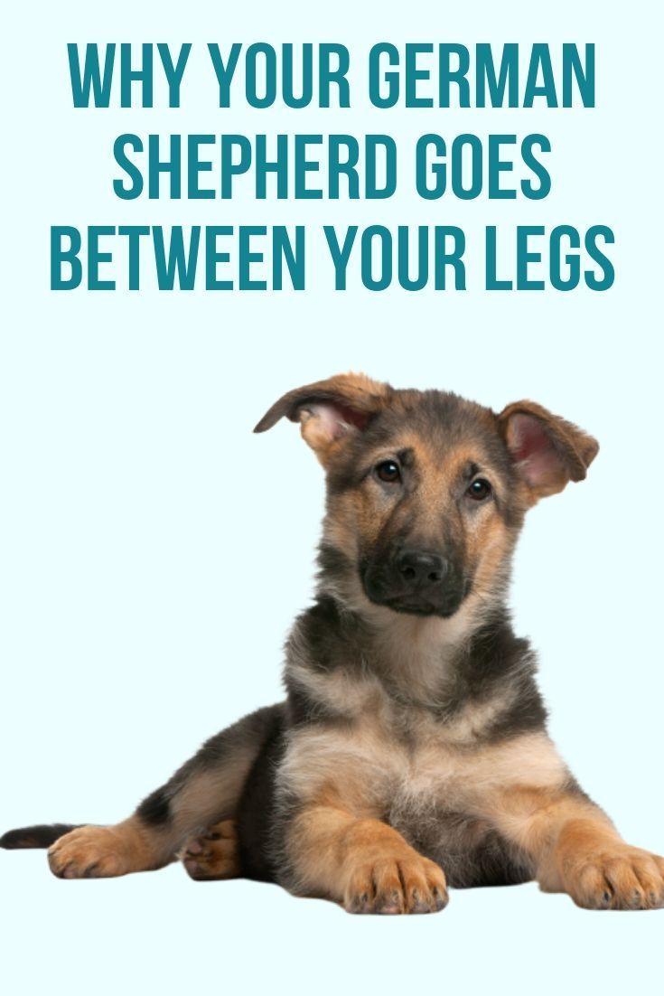 Why Does My German Shepherd Go Between My Legs German Shepherd