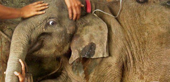 Bayi Gajah Sumatera Lahir di Way Kambas