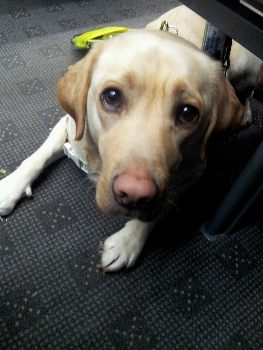 A gorgeous guidedog  i met on the train