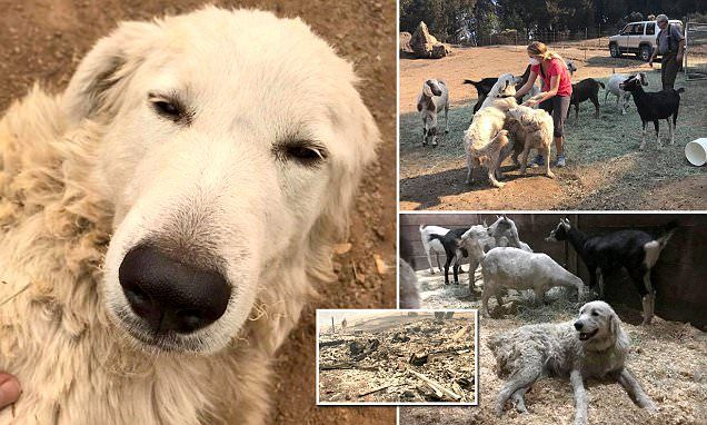 Pictures Of Goat Herding Dogs
