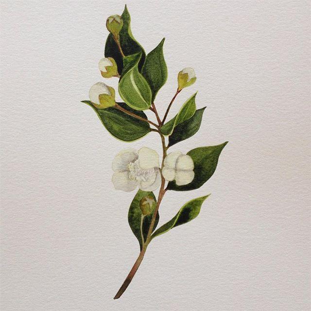 Última #acuarela hecha en las vacaciones #arrayan #watercolor #surdechile  #ilustracion #botanica