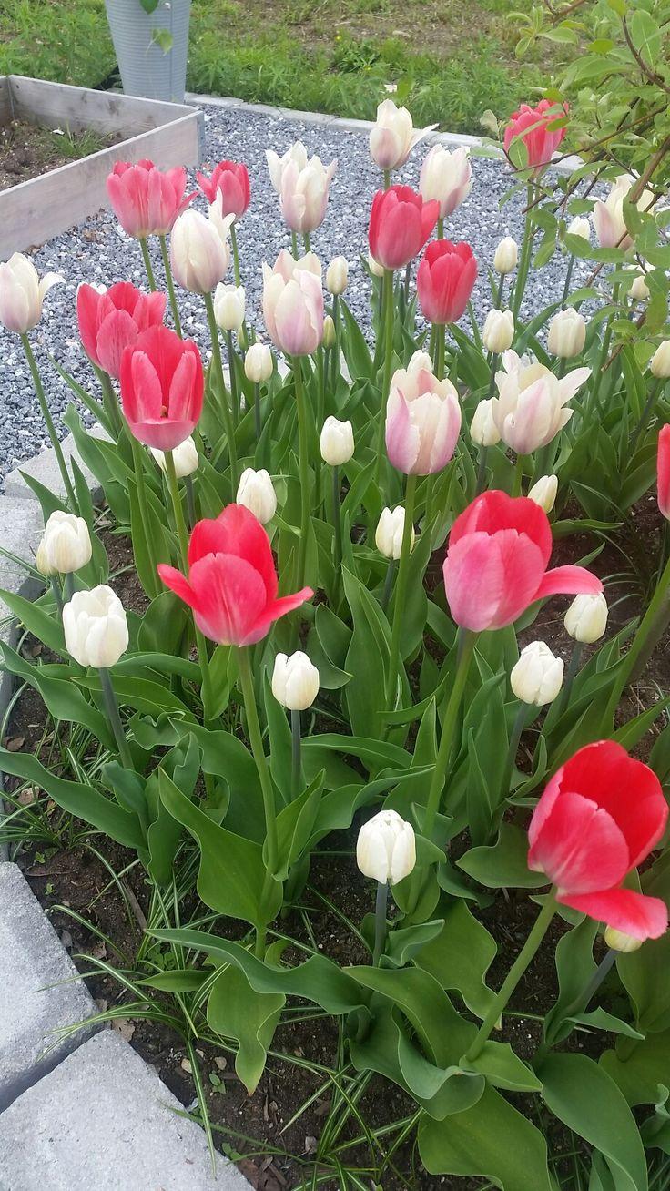 Tulipaner i grønnsakshage i blomst