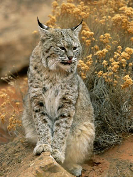 "Bobcats, named for their ""bobbed"" tails, have ears that resemble their feline cousin, the lynx."