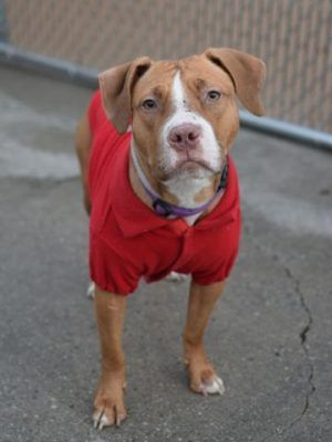 """SUPER URGENT – TRUSTING PUPPY RETURNED AS FEARFUL DOG – Before adoption, SUGAR COOKIE (A1057919) was """"very sweet and friendly; very easy to handle, wiggly"""". She came back to Brooklyn ACC as """"nervous, tail tucked, backs away from examiner..."""" Sugar Cookie is now 2 years old but 8 pounds lighter. Plus, this callous owner returned his pet with the 'child conflict' excuse. SUGAR COOKIE IS LOOKING FOR A HOME WHERE SHE WILL BE TRULY LOVED ♥ http://nycdogs.urgentpodr.org/sugar-cookie-a1057919/"""