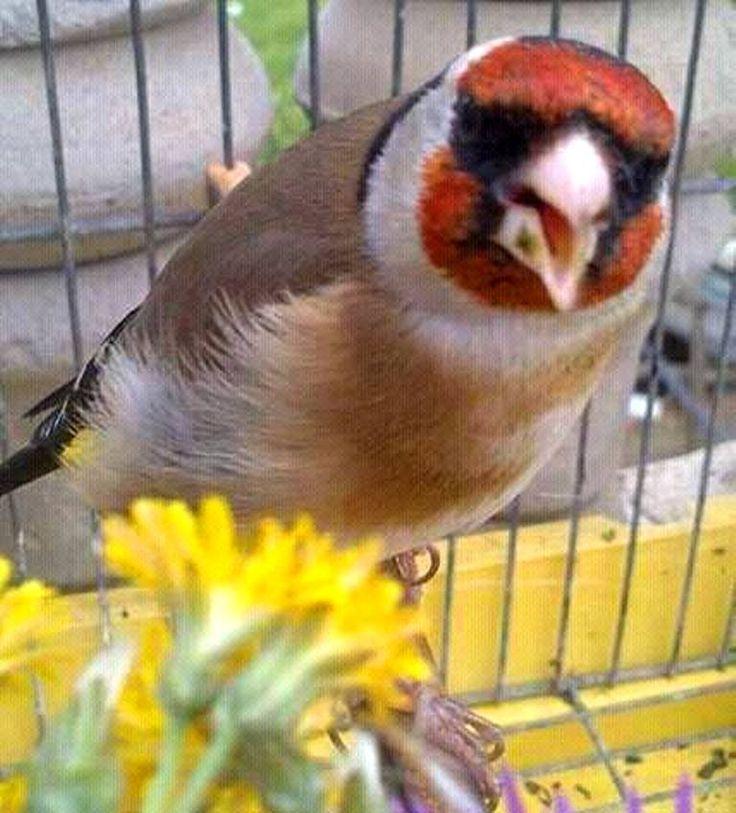 Le Chardonneret toujours le plus beau oiseau !!! <3  جميل https://www.youtube.com/+bilelseg https://www.facebook.com/ChardonneretBilelKios/ https://www.instagram.com/bilelkios/ #الحسون #المقنين #القرديل #Chardonnerert #Canari #Mulet #MuletOiseau #Oiseau #Birds #Animaux #Goldfinch #Jilguero #Cardellino #καρδερίνα #Sakakuşu #Chien #Chat #Pigeon #Cheval #Science #Reptile #Poisson #Plantes #Hibiscus #Alger #Algérie #Tunisie #Maroc #ChardonneretGolden #BilelKios