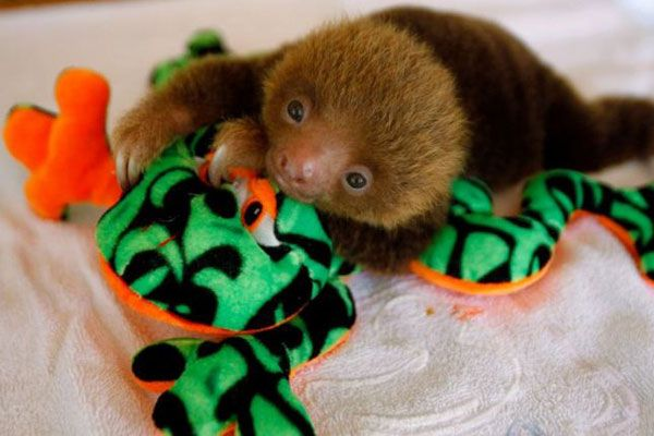 Baby Sloth Pictures! OMG So cute!: Sloths Baby, Animal Kingdom, Creatures, Awwwdor Animal, Cutest Things, Baby Animal, Baby Pictures, Cute Baby Sloths, Furries Friends