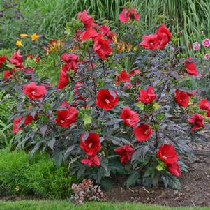 Garden Crossings Online Garden Center Offers A Large Selection Of Hibiscus  Plants. Shop Our Online Perennial Catalog Today.