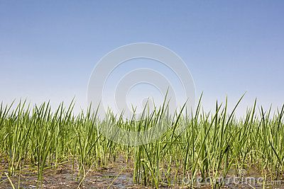 Young rice are growing in paddy fields, Vegas Altas del Guadiana