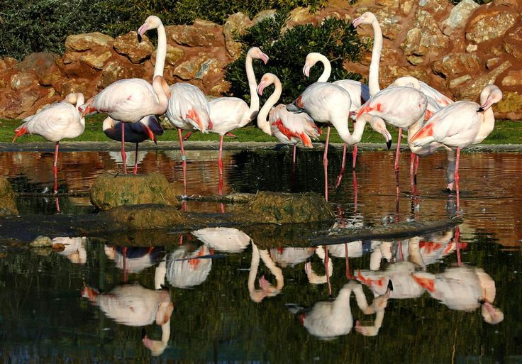 A flock of pink flamingos is reflected in a pond at the Attica Zoological Park in Athens, Greece