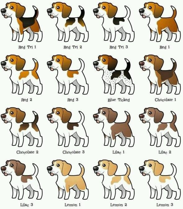 My beagles a lemon 2 - what about yours?