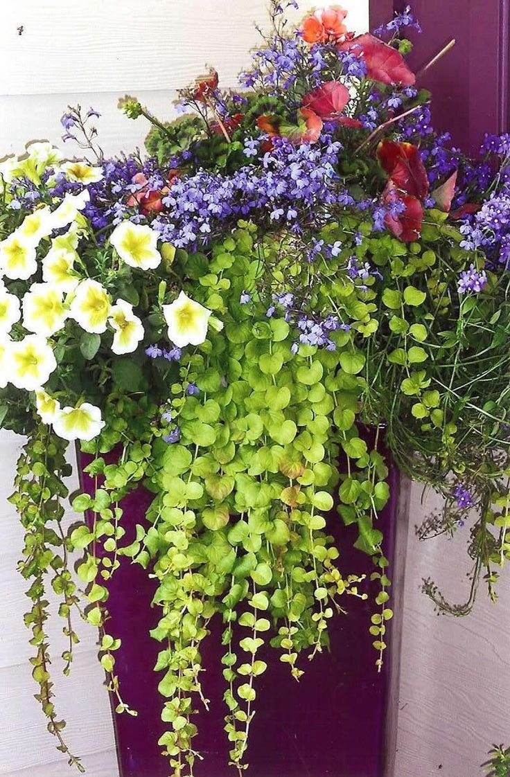 Container garden with creeping jenny bacopa supertunias for Container garden ideas