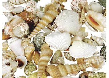 Sea Shells. A 1kg pack of sea shells in various sizes ranging from 2.5 to 7cm.