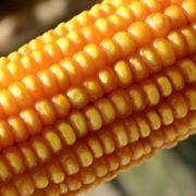 Corn | Organic Farming Research Foundation