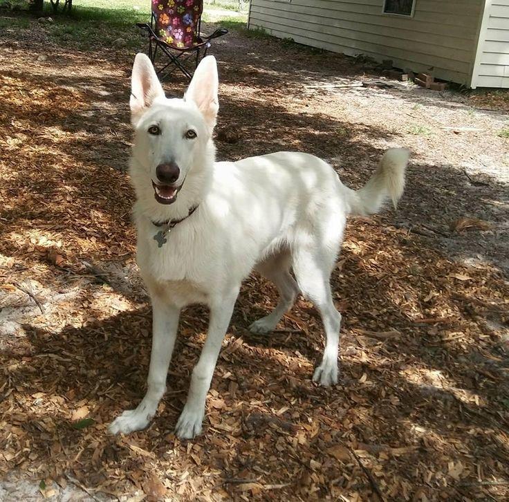 Adopt Duke on German shepherd dogs, German shepherd