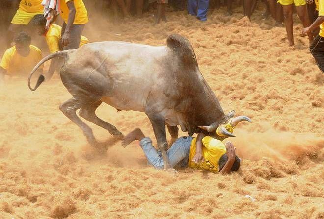 jallikattu ox pictures   http://www.atozpictures.com/jallikattu-bull-pictures