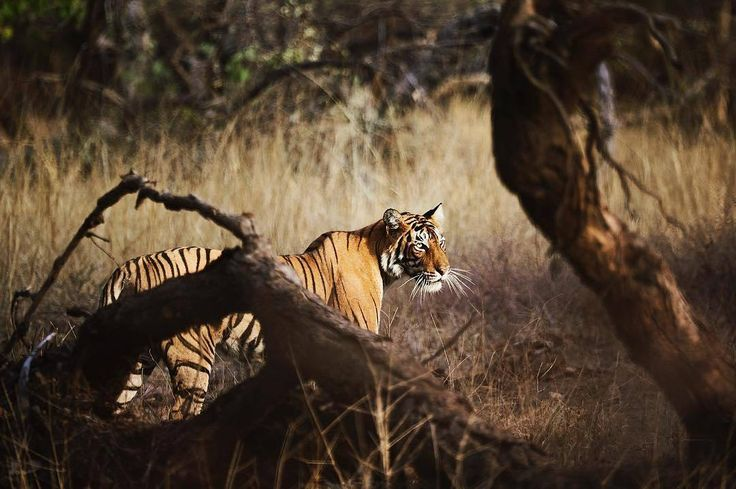 Once the hunting grounds of the Maharajah of #Jaipur, Ranthambore National Park was declared a wildlife sanctuary in 1955. Widely known for its #BengalTiger population, #Ranthambore is one of the leading destinations in #India to view the largest of all living cats in their natural habitat. #AmaniKhas can arrange a guided safari into the core of one of India's most beautiful parks, giving guests the opportunity to sight these magnificent jungle cats just like @filavandero did #AmanAdventures