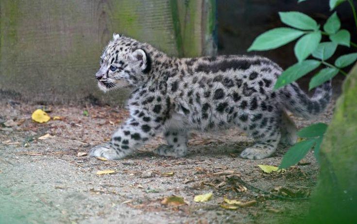 Baby snow leopard (Magnus Neuhaus, photographer)