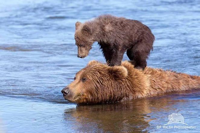 Grizzly Bear Kingdom on Facebook, Google+ MA..swim faster!