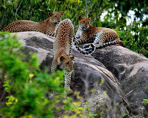 Beautiful Leopards by (Courtesy of Sri Lanka Travel/One Island.Many Worlds/MCT)