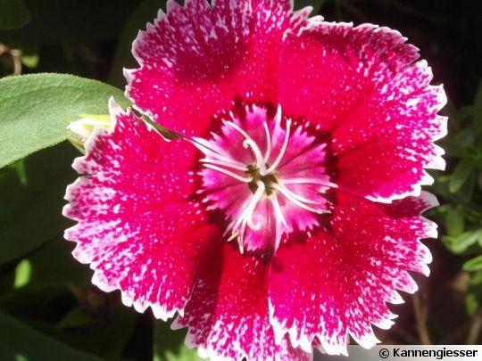 Oeillet de Chine (Dianthus chinensis) -Détail de la fleur-