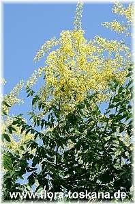 Koelreuteria paniculata - Blasenbaum