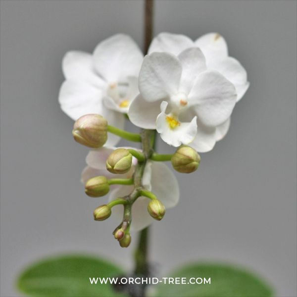 Phalaenopsis Lianher Happy Shell Orchid Tree Phalaenopsis Dendrobium Orchids