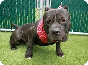 Whitestone, NY - American Staffordshire Terrier Mix. Meet Sham (Acc), a dog for adoption. http://www.adoptapet.com/pet/18116579-whitestone-new-york-american-staffordshire-terrier-mix