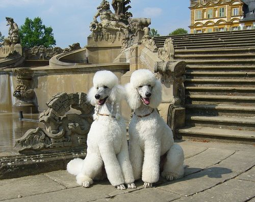 Wynonna and Kitty - White Standard Poodles