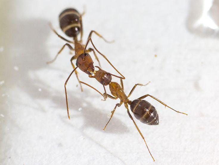 17 meilleures id es propos de fourmis sur pinterest insectes bogues et gu pe. Black Bedroom Furniture Sets. Home Design Ideas