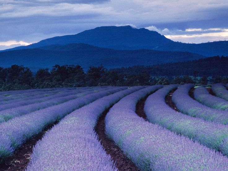 Lavender Fields Photograph by Gerd Ludwig Purple tints land and sky as night falls over lavender fields at Tasmania's famed Bridestowe Estate. The plantation is one of the largest lavender farms in the world.