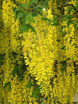 Laburnum - Golden Chain tree  // VERY FRAGRANT.  Will help to attract Butterflies and Hummingbirds.  Plant with Moonflower Vine which is also fragrant.  Very beautiful!  Great Gardens & Ideas //