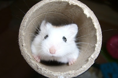 What the Pets!?: Homemade Hamster Toys?