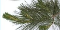How to Make Pine Oil Disinfectant | eHow.com