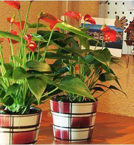 Las raíces de tu Anthurium absorben agua con gran facilidad. Por eso es importante no mantenerlas demasiado húmedas. Procura que tu Anthurium pueda deshacerse del agua sobrante en el fondo de la maceta. En la temporada de calor hay que regarlo dos o tres veces a la semana. Conviene darle un poco de abono para plantas una vez al mes.
