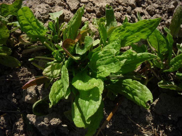 A sóska savanykás íze miatt kedvelt. A sóskát nem csak termeszthetjük, hanem gyűjthetjük is. Nálunk gyógyhatású érett termése kerül forgalomba.  http://kertlap.hu/soska/