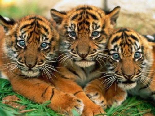 Adorable tiger cubs