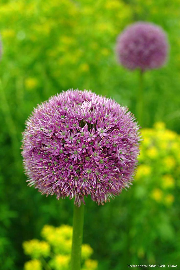 Fleur d'allium