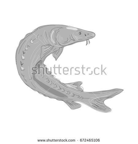 Illustration of a Lake Sturgeon Swimming Up done in hand sketch Drawing style.  #sturgeon #sketch #illustration