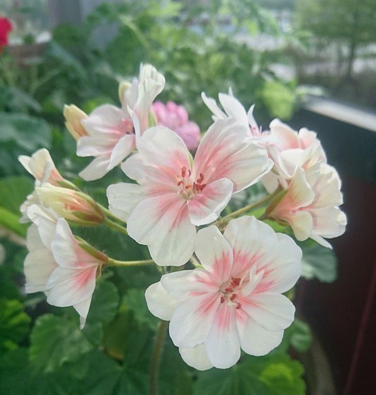 Zonartic Lovely Wera blommar hos mig!