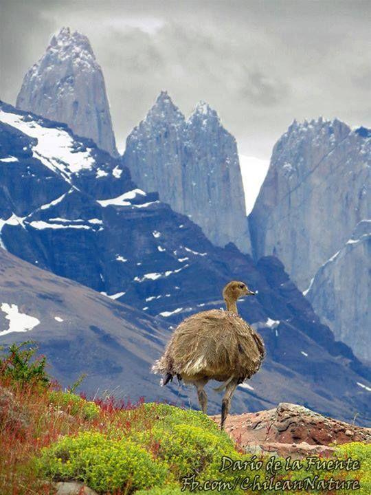 Este es el ñandú, un ave que habita Chile de norte a sur. Aunque no puede volar, es un excelente corredor (¡y nadador también!).   Foto de Chilean Nature Photography