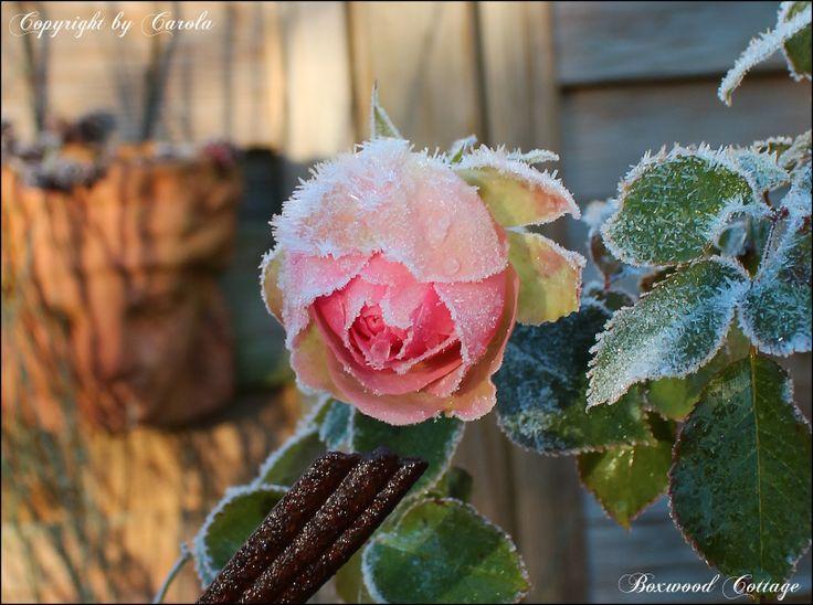 67710cbe9176a7d1601be2a7cd7fd897  cottage garden roses