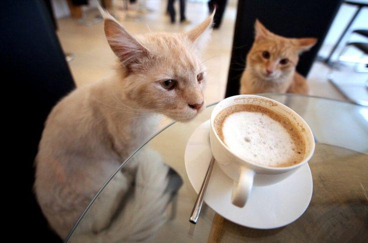 """Dopo Tokyo e Vienna, ora anche Parigi: presto all'ombra della Tour Eiffel sarà possibile andare a prendere un caffè con il proprio gatto. Ad aprire il primo 'bar à chats' della Francia è Margaux Gandelon, che immagina un luogo popolato da gatti """"per il benessere dei"""