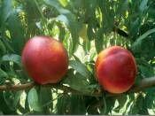 Nektarin Fidanı 5 Yaşında ROOTBALL http://www.fidanistanbul.com/urun/2769_nektarin-fidani-5-yasinda-rootball.html Fidan Satışı, Fide Satışı, internetten Fidan Siparişi, Bodur Aşılı Sertifikalı Meyve Fidanı Süs Bitkileri,Ağaç,Bitki,Çiçek,Çalı,Fide,tohum,toprak