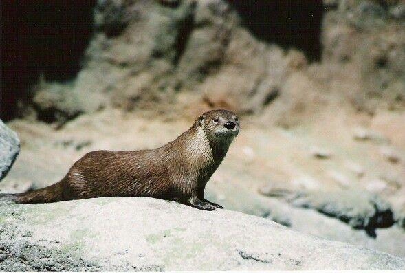 Otter pose