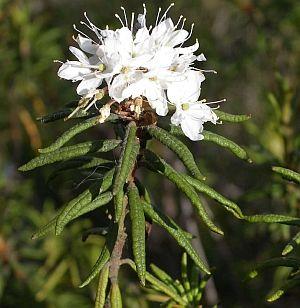 Molyűző (Ledum palustre)