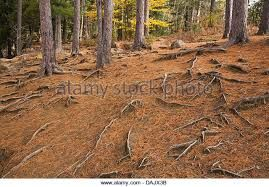 Image result for pine cone forest new zealand landscape autumn