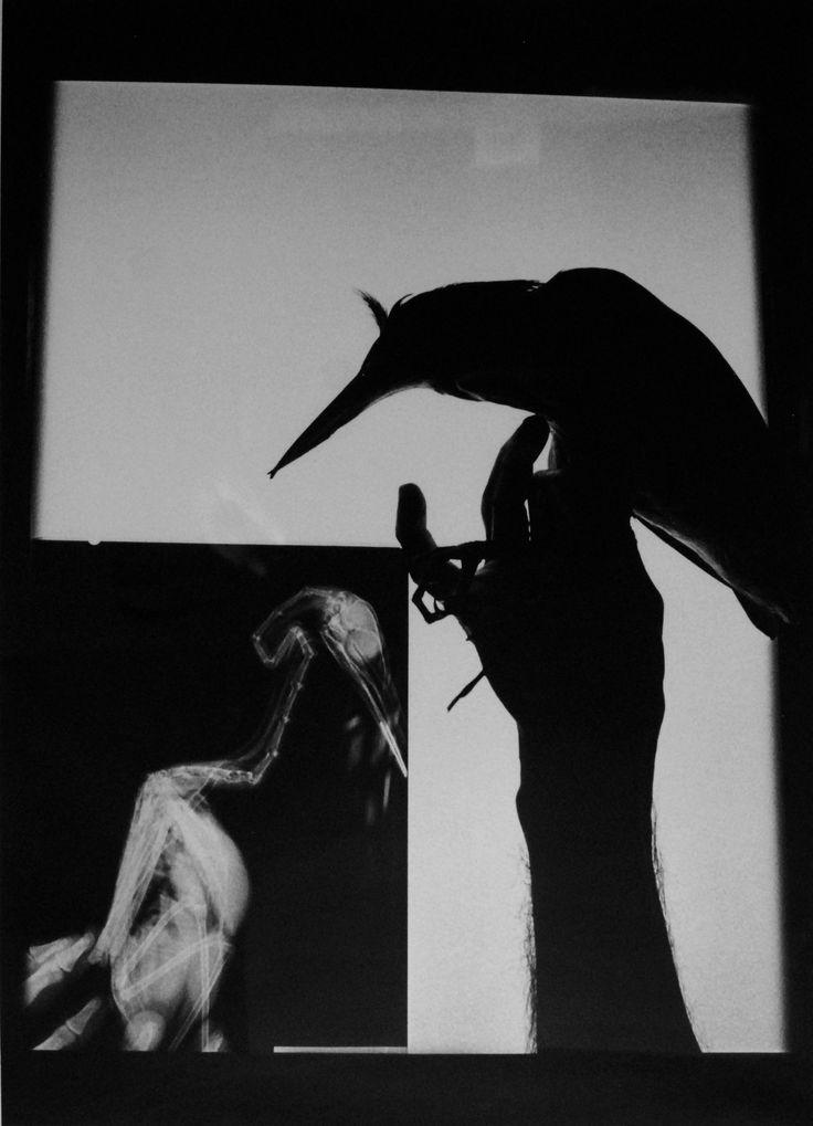 Graciela Iturbide Radiografía de un pájaro, 1999 Oaxaca, México Serie: Pájaros Plata sobre gelatina