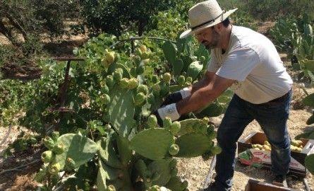 Συνεταιρισμός από την Κρήτη εξάγει τεκίλα από φραγκόσυκο στο Ντουμπάι αλλά δε μπορεί να πουλήσει στην Ελλάδα