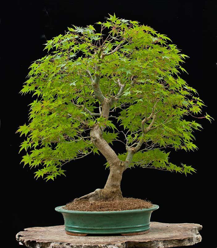 3734 besten bonsai bilder auf pinterest bonsai pflanzen for Bonsai pflanzen