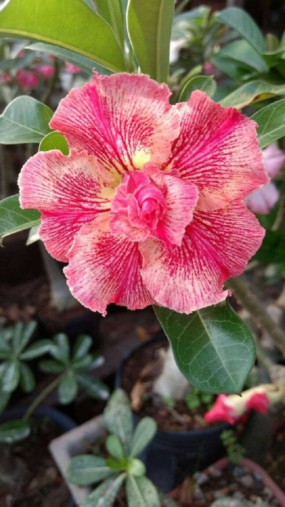 2 Rare Orange Pink Desert Rose Seeds Adenium Obesum Flower Perennial